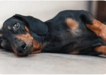 10 Dog Breeds Most Compatible with Dachshunds