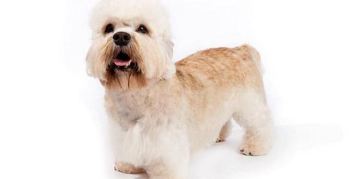 10 Dog Breeds Most Compatible With Dandie Dinmont Terriers