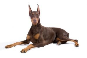 10 Dog Breeds Most Compatible With Doberman Pinschers