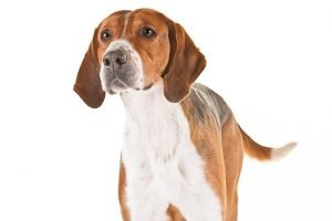 10 Dog Breeds Most Compatible With English Foxhounds