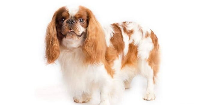 10 Dog Breeds Most Compatible With English Toy Spaniels