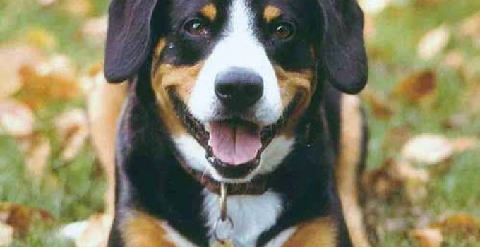 10 Dog Breeds Most Compatible With Entlebucher Mountain Dogs