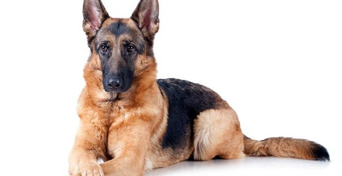 10 Dog Breeds Most Compatible With German Shepherds