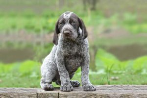 10 Dog Breeds Most Compatible With German Shorthaired Pointers