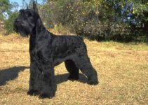 10 Dog Breeds Most Compatible with Giant Schnauzers