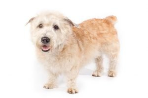 10 Dog Breeds Most Compatible With Glen Of Imaal Terriers
