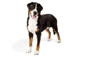 10 Dog Breeds Most Compatible With Greater Swiss Mountain Dogs