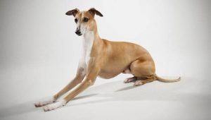10 Dog Breeds Most Compatible With Greyhounds