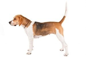 10 Dog Breeds Most Compatible With Harriers