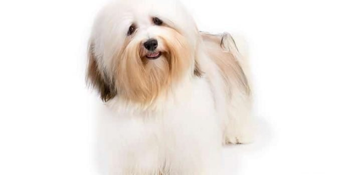 10 Dog Breeds Most Compatible With Havanese