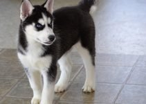 10 Dog Breeds Most Compatible with Huskies