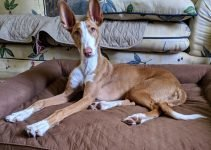 10 Dog Breeds Most Compatible with Ibizan Hounds