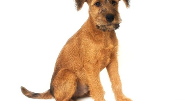 10 Dog Breeds Most Compatible With Irish Terriers