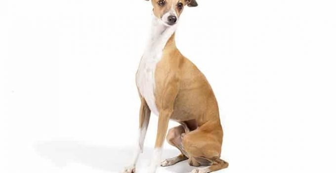 10 Dog Breeds Most Compatible With Italian Greyhounds