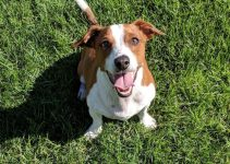 10 Dog Breeds Most Compatible with Jack Russell Terriers