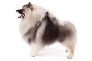 10 Dog Breeds Most Compatible With Keeshond