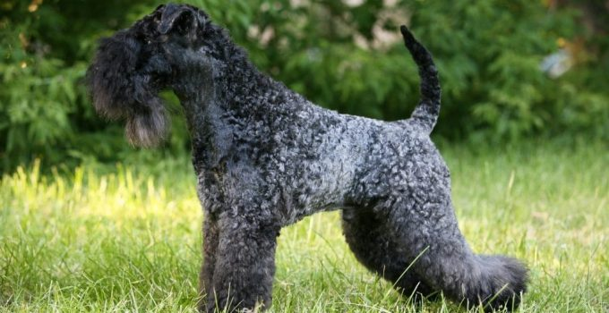 10 Dog Breeds Most Compatible With Kerry Blue Terriers