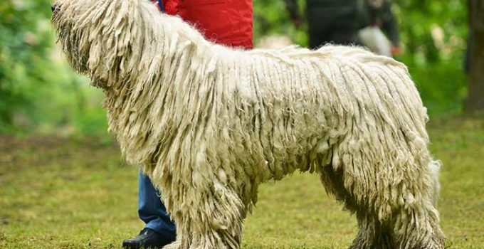 10 Dog Breeds Most Compatible With Komondor