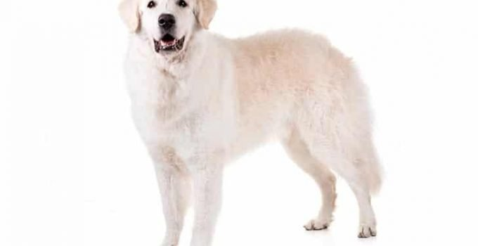 10 Dog Breeds Most Compatible With Kuvasz