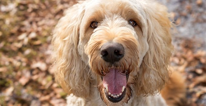 10 Dog Breeds Most Compatible With Labradoodle