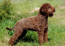 10 Dog Breeds Most Compatible with Lagotti Romagnoli