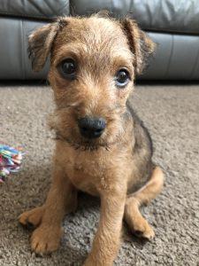 10 Dog Breeds Most Compatible With Lakeland Terriers