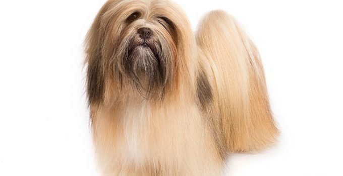 10 Dog Breeds Most Compatible With Lhasa Apso