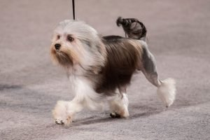 10 Dog Breeds Most Compatible With Lowchen