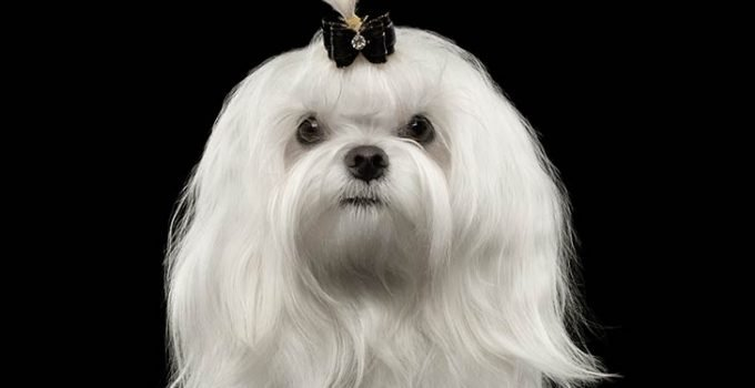 10 Dog Breeds Most Compatible With Maltese