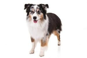 10 Dog Breeds Most Compatible With Miniature American Shepherds