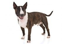 10 Dog Breeds Most Compatible with Miniature Bull Terriers
