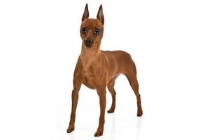 10 Dog Breeds Most Compatible With Miniature Pinschers