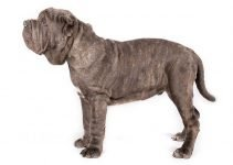 10 Dog Breeds Most Compatible with Neapolitan Mastiff