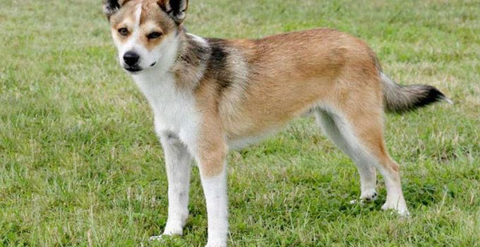 10 Dog Breeds Most Compatible With Norwegian Lundehunds
