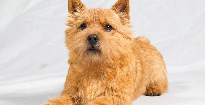 10 Dog Breeds Most Compatible With Norwich Terriers