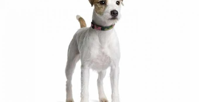 10 Dog Breeds Most Compatible With Parson Russell Terriers