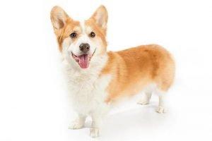 10 Dog Breeds Most Compatible With Pembroke Welsh Corgis