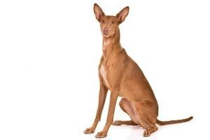 10 Dog Breeds Most Compatible With Pharaoh Hounds