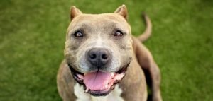 10 Dog Breeds Most Compatible With Pitbulls