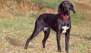 10 Dog Breeds Most Compatible With Plott