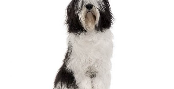 10 Dog Breeds Most Compatible With Polish Lowland Sheepdogs