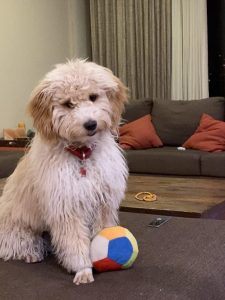 10 Dog Breeds Most Compatible With Poochon