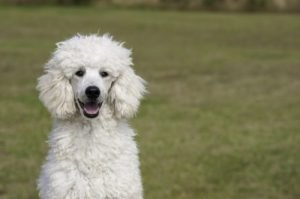 10 Dog Breeds Most Compatible With Poodles
