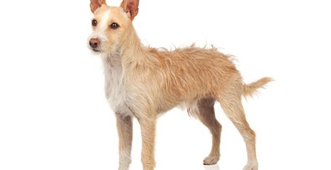 10 Dog Breeds Most Compatible With Portuguese Podengo