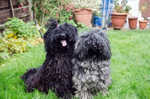10 Dog Breeds Most Compatible With Puli