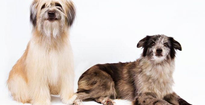 10 Dog Breeds Most Compatible With Pyrenean Shepherds