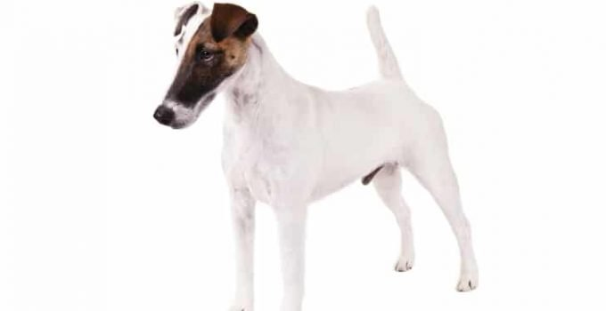 10 Dog Breeds Most Compatible With Smooth Fox Terriers