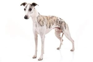 10 Dog Breeds Most Compatible With Whippets