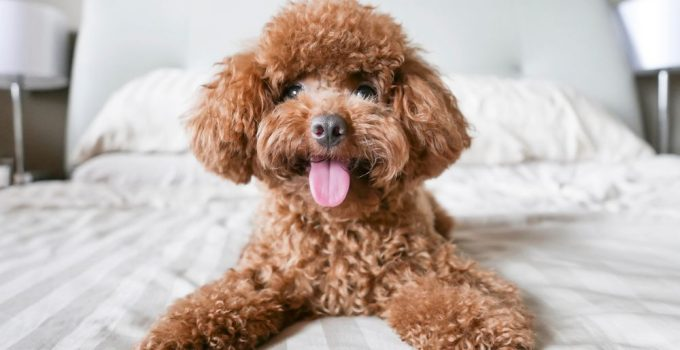 10 Dog Breeds Most Compatible With Whoodle