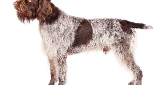 10 Dog Breeds Most Compatible With Wirehaired Pointing Griffon